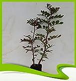 Pistachier Atlantica (persan térébenthine Arbre)–Plantes