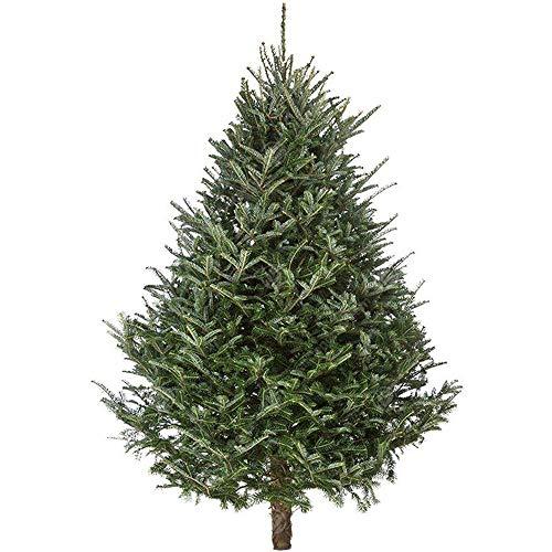 Fraser Fir Pot Grown Christmas Tree - Choice of sizes