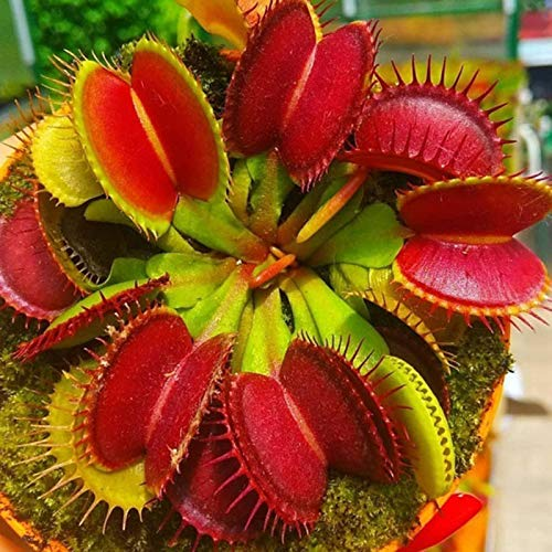 yanbirdfx Blumen Samen für Garten und Balkon-100 Stück Dionaea Muscipula Seeds Fliegenfalle Fleischfressende Pflanze Bonsai Garden Decor - Dionaea Muscipula Seeds