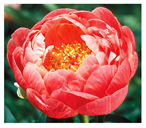 Coral Charm Peony - Semi Double Coral Peony - Large Bare Root 3-5 Eyes
