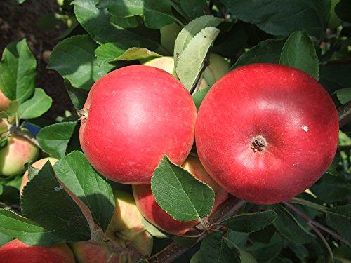 Apfel Reglindis Busch im 7,5 l Topf, 60 cm Stammhöhe