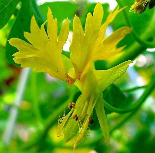 Canary Creeper, Canary Bird Vine Samen - Tropaeolum peregrinum - 24 samen