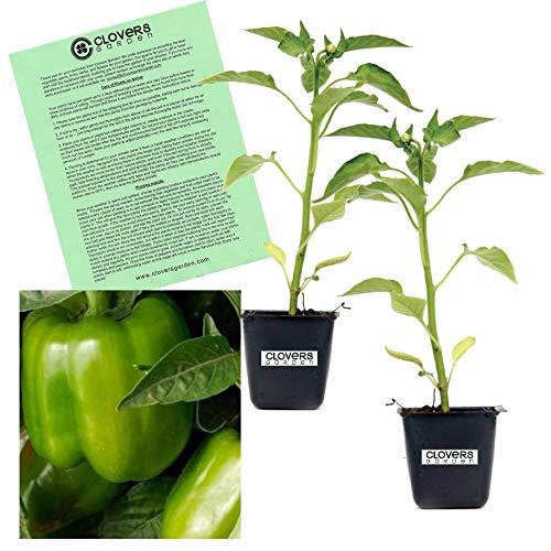 Clovers Garden California Wonder Bell Pepper Plant – Non-GMO - Two (2) Live Plants – Not Seeds – Each 4