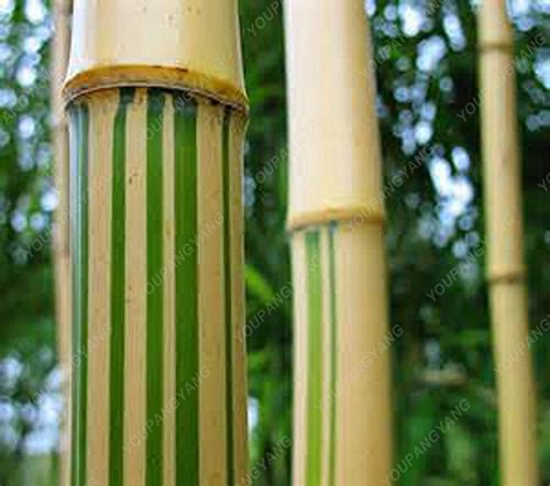50 pcs \ sac pot hybride, graines rares de bambou, l'air pur, maison décoration rose, couleurs rouge, jaune, vert, plantes en pot bonsaï clair