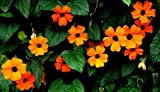 Portal Cool 1G (~ 40): 40/240 graines Suzanne Au Graines d'Orange Noir Yeux/Thunbergia Alata/escalade