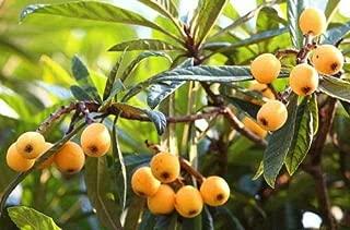 Best loquat tree seedlings Reviews