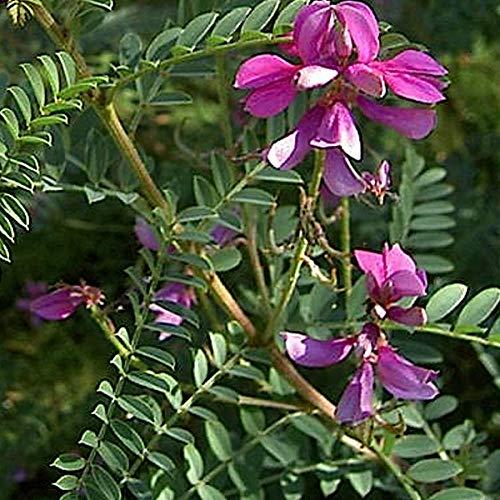 Indigofera Heterantha 'Gerardiana' - Indigo-Strauch 40-60 cm Pflanzcontainer
