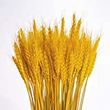 KABOGINS 100 Stems Dried Wheat Stalks Golden Dried 100% Natural Wheat Sheave Bundle Flower for Home Kitchen Christmas Wedding(17 inch) (Warm Golden Color)
