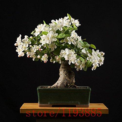 Graines 200pcs Gardenia (Cape Jasmine), les graines bonsaï de fleurs, l'odeur et de belles fleurs en pot plantes pour la maison et le jardin