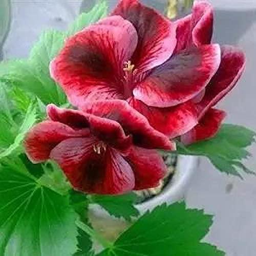 Fuduoduo Blumensamen Balkon,Leicht zu...