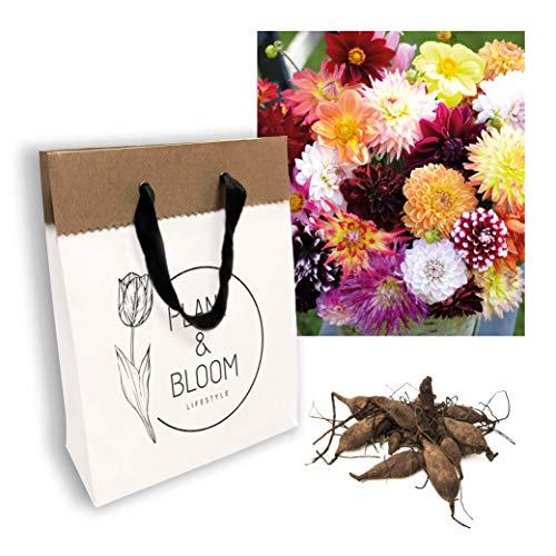 Plant & Bloom Dahlia Blumenzwiebeln Mix aus Holland 6 Zwiebeln - Einfach zu ziehen - Pompon und Ball Dahlien Knollen für die Frühlingsbepflanzung in Garten - Gemischte Farben - Kollektion Lovely Combi