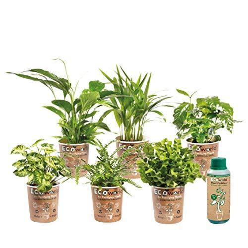 Ecoworld Luftreinigende Zimmerpflanzen, 6er Set - Verschiedene Arten, zur Deko & Luftreinigung - Für Gesundheit & Entspannung, gegen Stress - Tolles Geschenk - Topf-Ø 12 cm, Pflanzenhöhe: 25-40 cm
