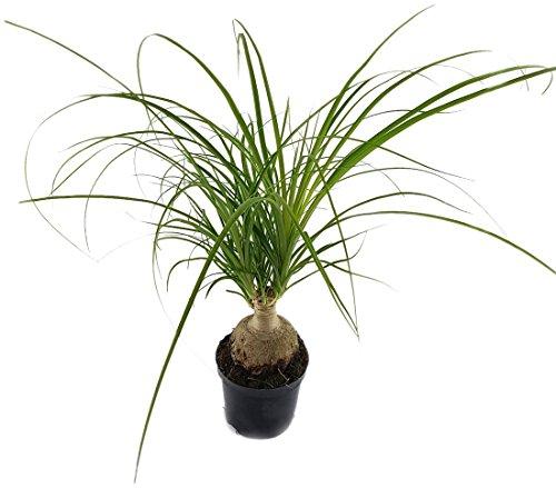 Nolina Recurvata - der Elefantenfuß - eine imposante Zimmerpflanze für sonnigen Standort - der Flaschenbaum ist in den Sommermonaten auch für Garten, Terrasse oder Balkon geeignet