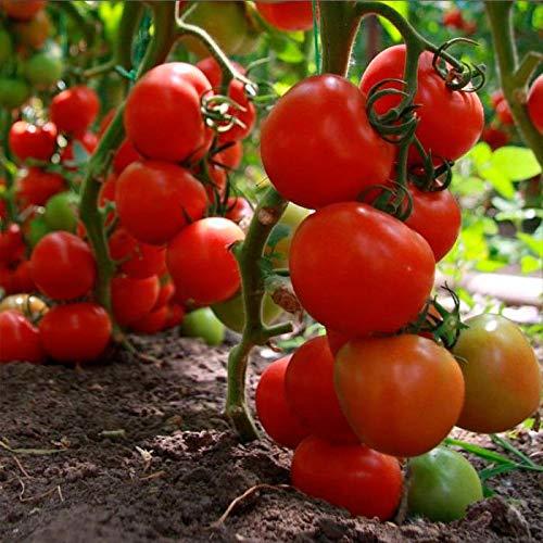 Portal Cool Tomate Tajler F1 Graines de tomates rouges Professional Ukraine 10 graines