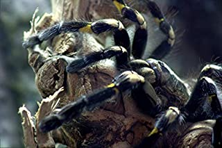 poecilotheria poster