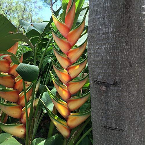 Heliconia Pflanze bereit frische Rhizome wachsen