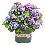 semi di fiori di ortensia azzurri 20 pezzi perenni biologici freschi facili da coltivare piante semi di fiori per piantare giardino da giardino all'aperto interno