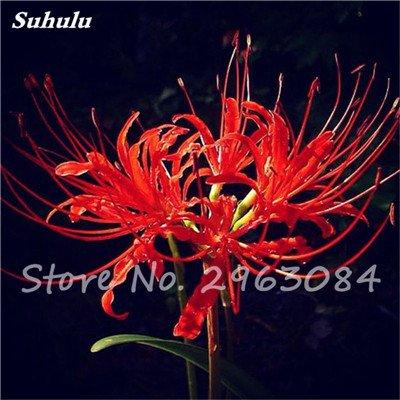 Big Sale! 100 Pcs Red Lycoris Graines Plante en pot Lycoris Radiata Graines de fleurs Plantation vivace intérieur Fleurs Bonsai Graine de plantes 5