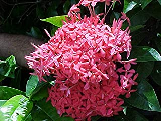 1 Ixora Pink - Beautiful Shrubs - Live Plant