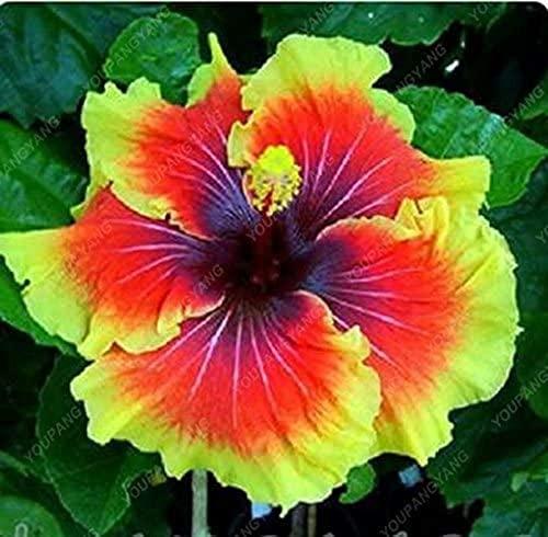 100 Stück Mix Color Giant Hibiskus Samen Hardy mehrjährige Bonsai Samen für Hausgarten Topfblume Pflanze Schnittblumen Bouquet genießen Sie schöne Zierpflanzen
