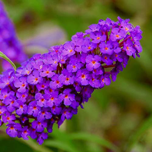 lichtnelke - Zwerg-Schmetterlingsflieder (Buddleja davidii) BUZZ Pink Purple