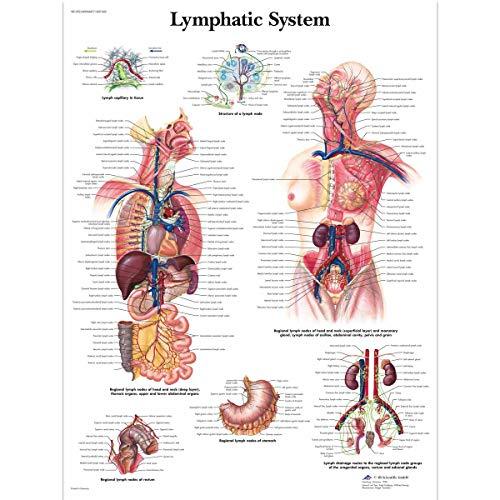 3B Scientific Anatomía humana - Tabla del sistema linfátic