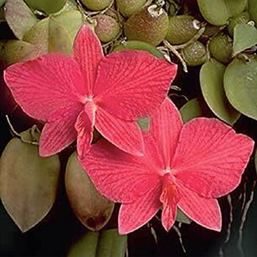Semillas de frutas de flores 50pcs/ bolsa Cattleya Hybrida Semillas fragantes alta germinación bien adaptadas semilleros de orquídeas rojas ornamentales para patio - Planta de semillas Su pati
