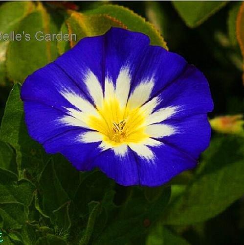 50pcs Livraison gratuite Convolvulus Tricolor Seeds plantes ornementales Le taux de bourgeonnement 90% de