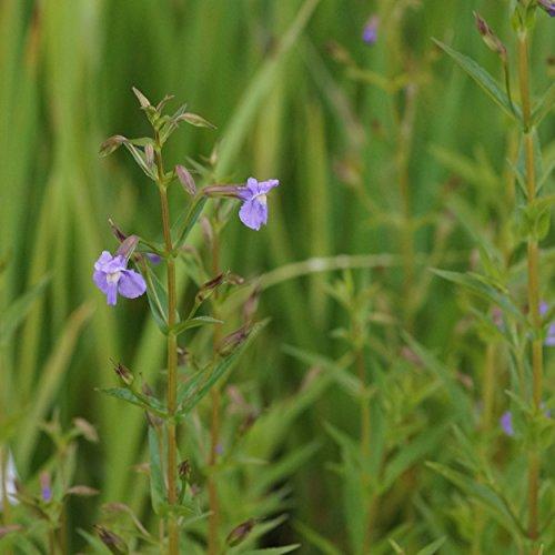 Blumixx Stauden Mimulus ringens - Blaue Gauklerblume blauviolett