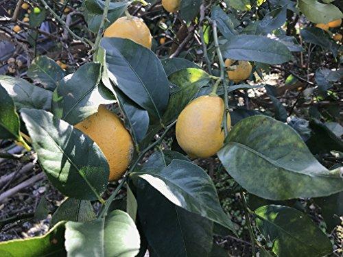 レモン 国産【愛媛県産】無農薬 瀬戸内 |約3kg|S?2L混載