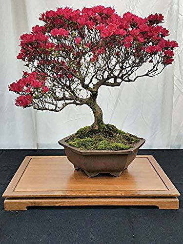 UEYR Interior Kit, Kit japónica Bonsai, Crezca su Propia/Crecer de la semilla Craft Kit, 100% Eco Kit botánico, jardinería Set