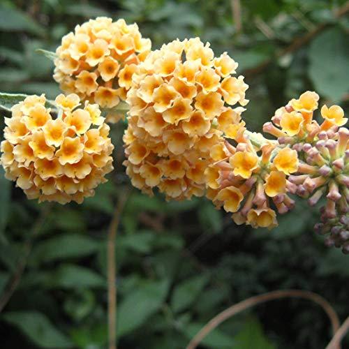 Buddleja Weyeriana 'Sungold' - Schmetterlingsstrauch 'Sungold' 40-60 cm Pflanzcontainer