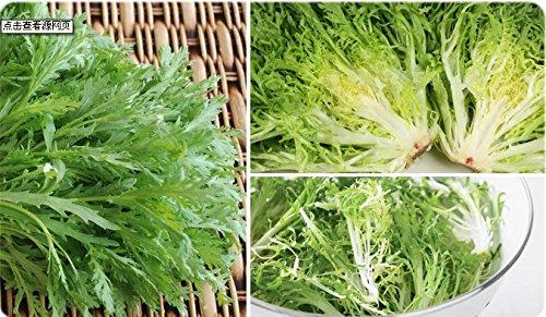Belles faery en pot semences potagères fine balcon semences endive de colza semence chrysanthème Bitter