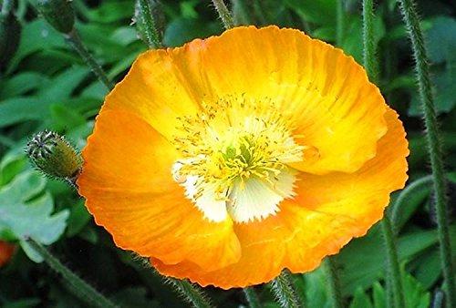 100pcs rouge de fleur de pavot graines Bonsai. graines en pot Rare Papaver ORIENTALE pour planting.semillas décorés de jardin à la maison de flores 12