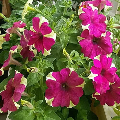 Charm4you Perenne Fragrante Semi,Petunia Colore Seme Floreale Misto-Petunia 500g,Rari Fiori Piante per Orto Giardino