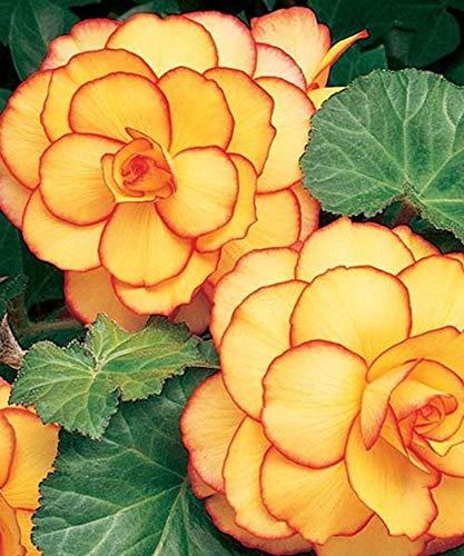 Soteer Garten - 100 Stück Duft-Begonie Glühbirnen Blumensamen hängenden Korb Begonia Sammlung eines der beliebtesten Stauden für Schatten!