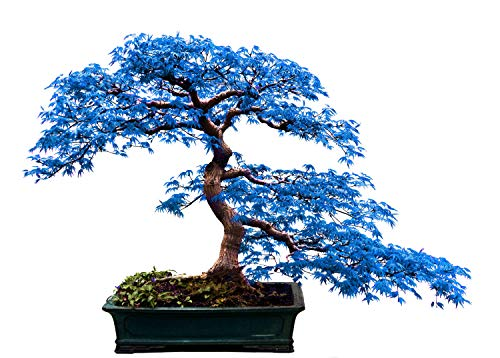 Rare 10Pcs Blue Maple Seeds Bonsai Ornamental Plants Garden Indoor Decoration