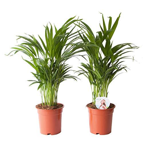 Plantas de interior de Botanicly – 2 × Palma Areca – Altura: 65 cm – Areca dypsis lutescens