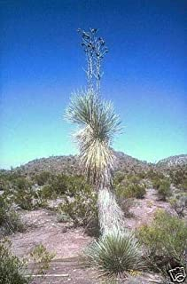 Blue Beaked Yucca Hardy Exotic Yucca Rostrata Seeds #GGR03