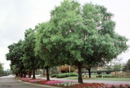 Oak Tree Laurel (30 graines) frais de récolte de cette saison de mon jardin