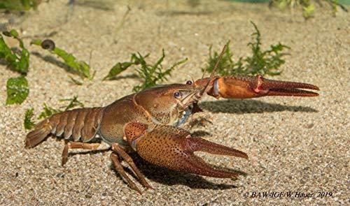 Topbilliger Tiere Krebse Teich Edelkrebs - Astacus Astacus - 1 Pärchen -Teich Krebs - Gesundheitspolizei für Ihren Gartenteich