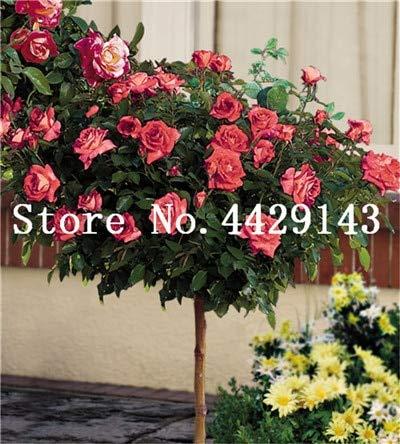 100 Stück Seltener Rosenbaum Blume Mini Rose Rose Tree Mini Bonsai Kletterrose Blume Bonsai für Hausgarten: 7