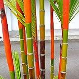 ypypiaol 100Pcs Negro Púrpura Verde Phyllostachys Pubescens Moso-Bamboo Semillas Plantas De Jardín Al Aire Libre 100 piezas de colores