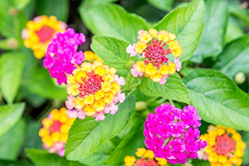 50 Lantana Flower Seeds - Made in USA, Ships from Iowa. Very Good Butterfly...