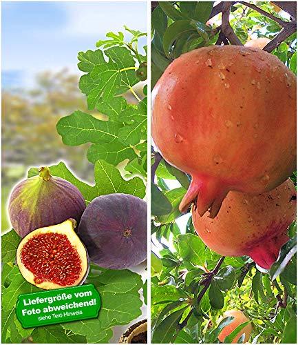 BALDUR Garten Feigen-Kollektion, 2 Pflanzen Rouge de Bordeaux und Granatapfel