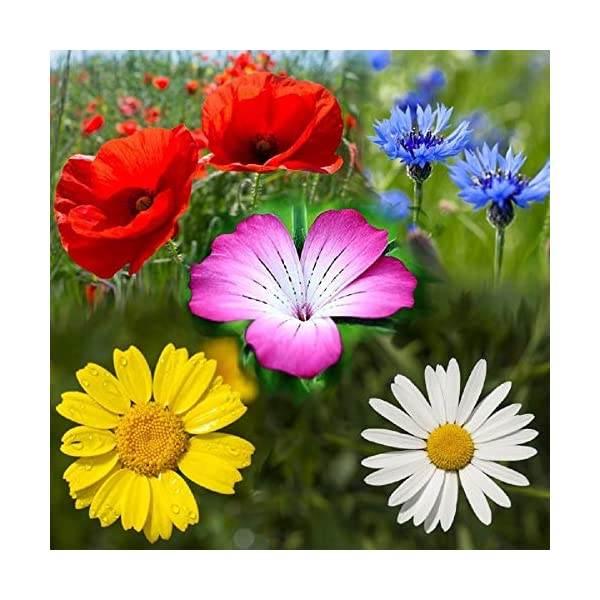 100% PURE CORNFIELD WILD FLOWER SEED MEADOW & FLOWERS 100g by pretty wild seeds 100g NO GRASS mix 44
