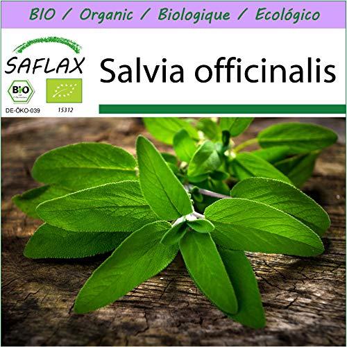 SAFLAX - Ecológico - Salvia - 60 semillas - Salvia officinalis
