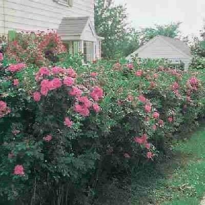 Rosa rugosa Samt Rosenbusch rosa blühende Hecke Vitamin Hagebutten 10 Samen