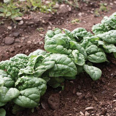 David's Garden Seeds Spinach Hammerhead SL6674 (Green) 500 Non-GMO, Hybrid Seeds