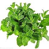 SimpleMfD 500PCS Plant Mint Seed Mint Aromatische natürliche grüne Gewürzbalkon Topfblume Serie